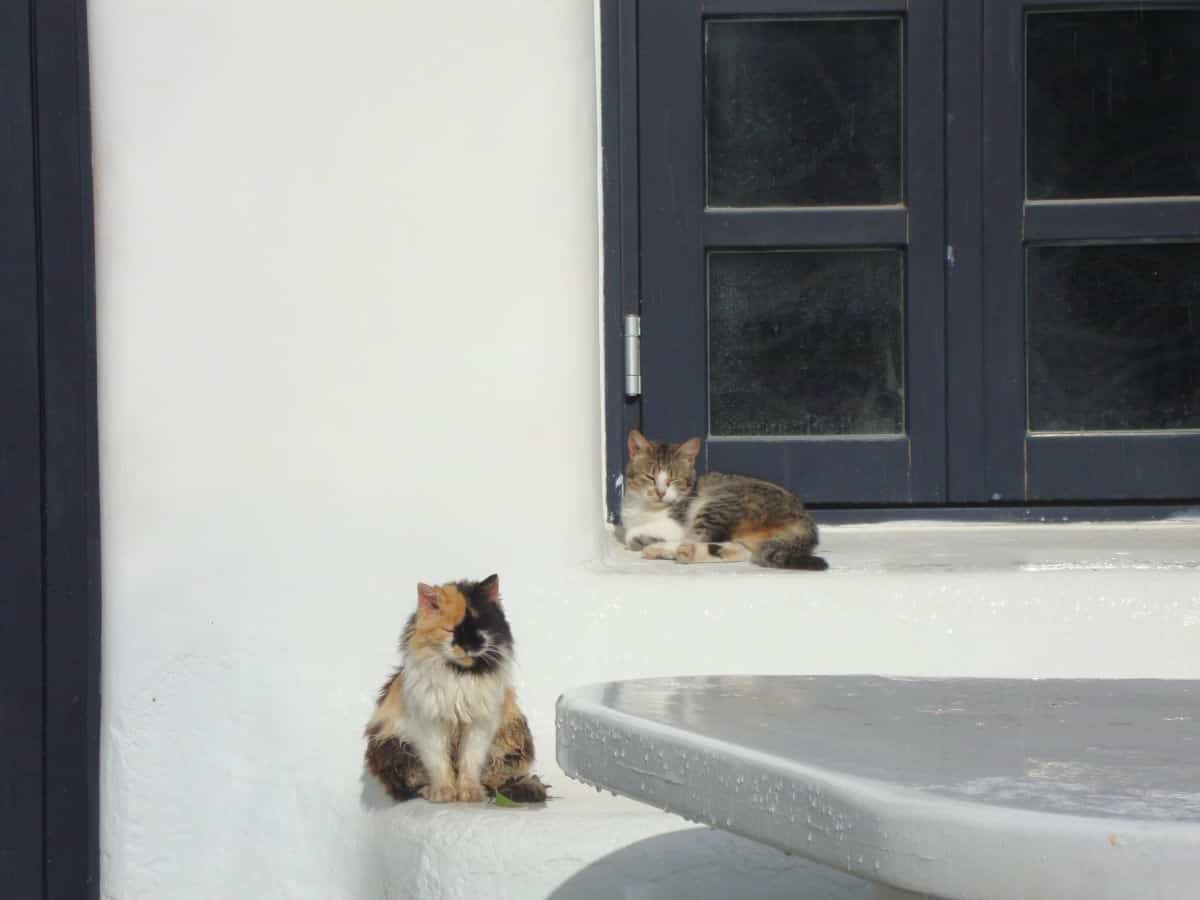 Mykonos, cats of Greece