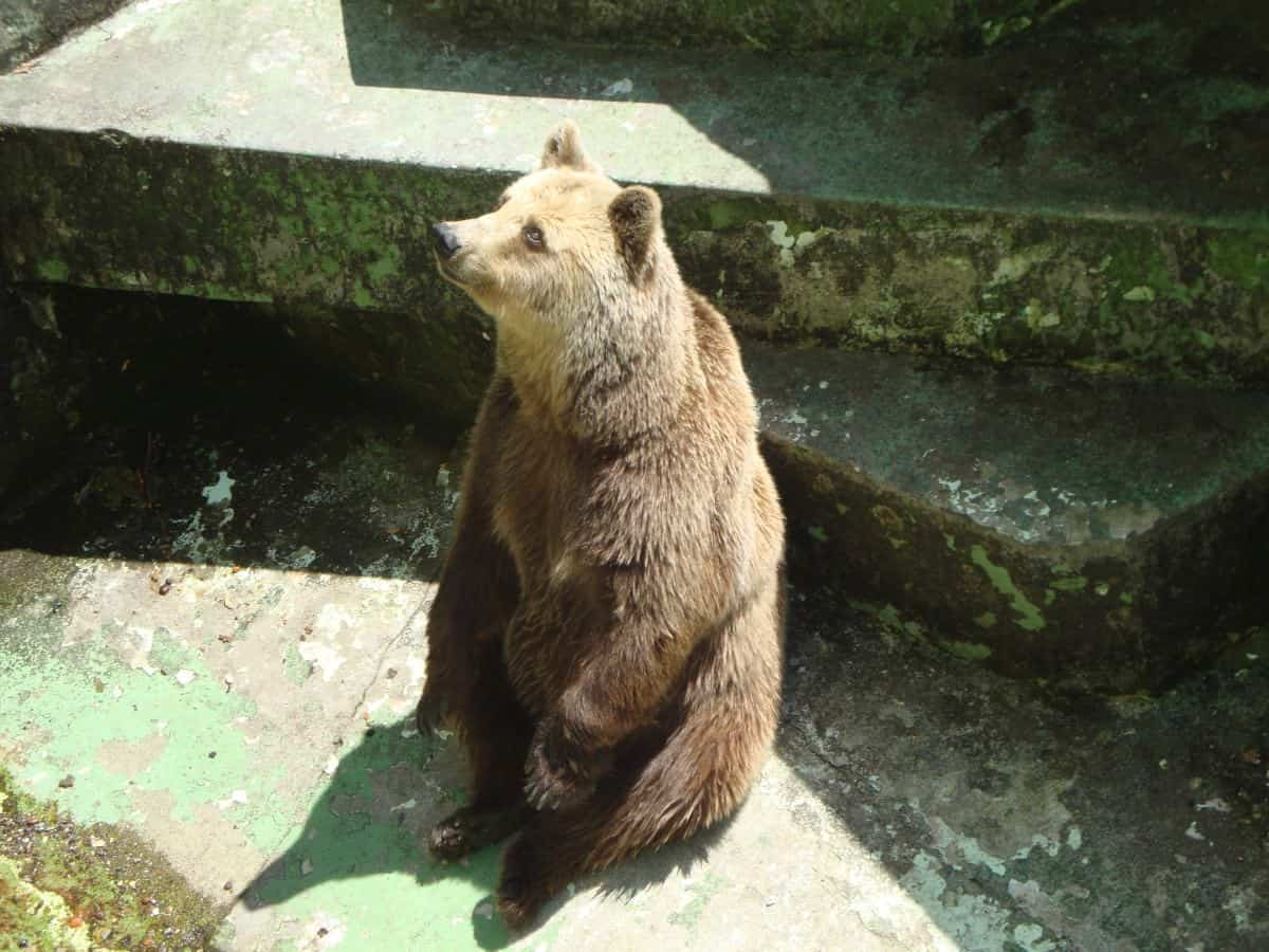 Bear in a dry habitat at the Zagreb zoo