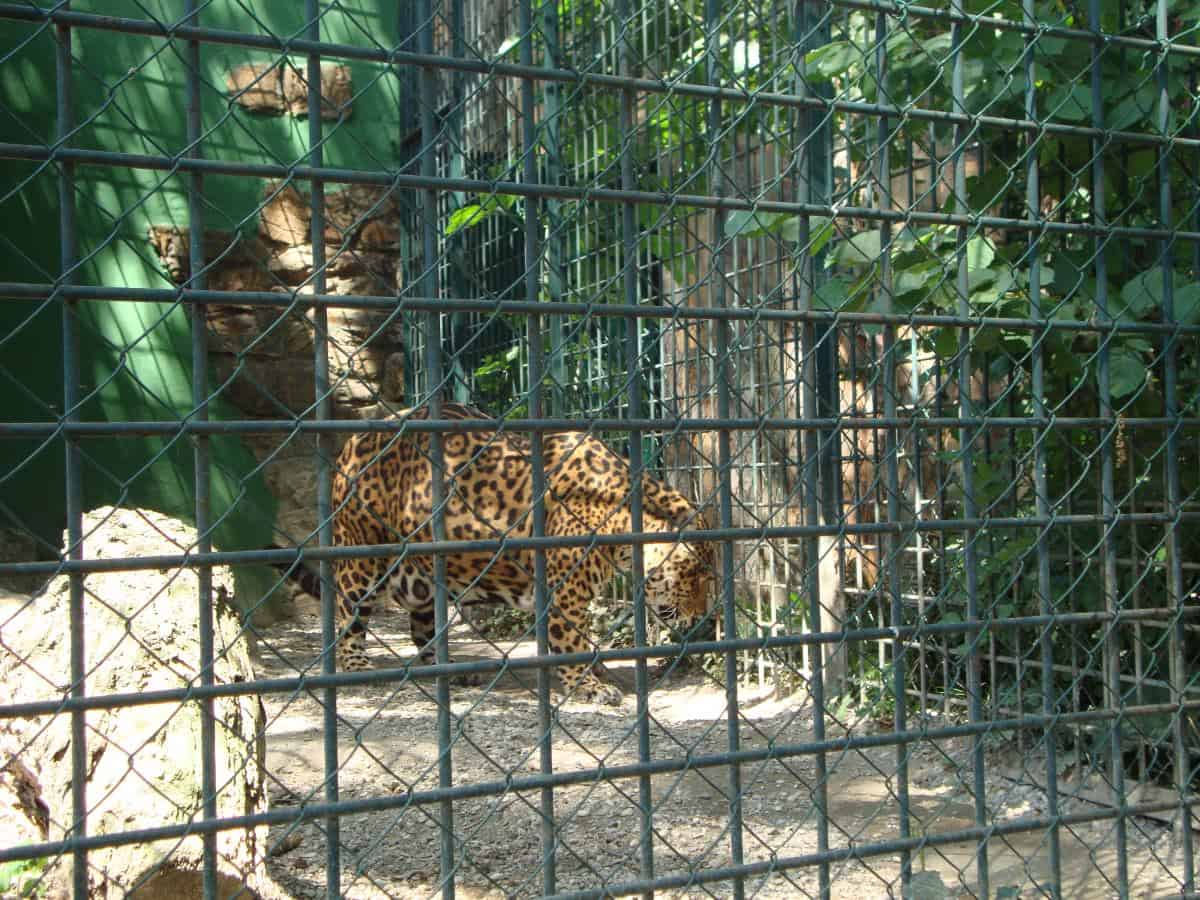 Tiger in a cage at the Zagreb zoo