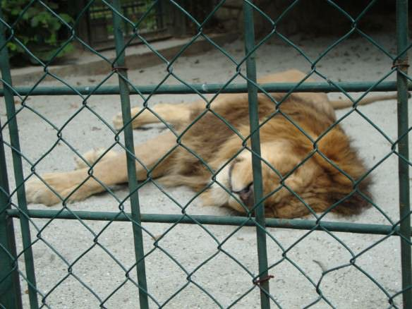 Lion sleeping in a sandpit cage at the Zagreb zoo