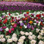 The Beautiful Keukenhof Tulip Garden