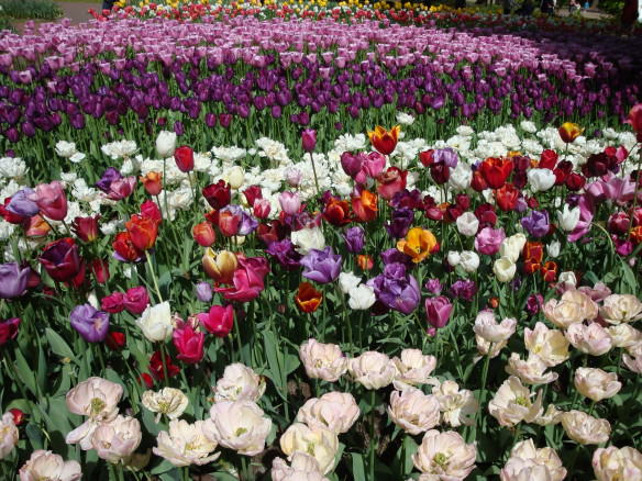 Tulip gardens, with purple, white and pink tulips