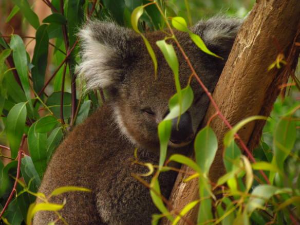 Cuddly Koala sleeping at the Healesville Wildlife Sanctuary