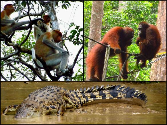 orangutangs, alligators and proboscis monkeys in Sabah Borneo