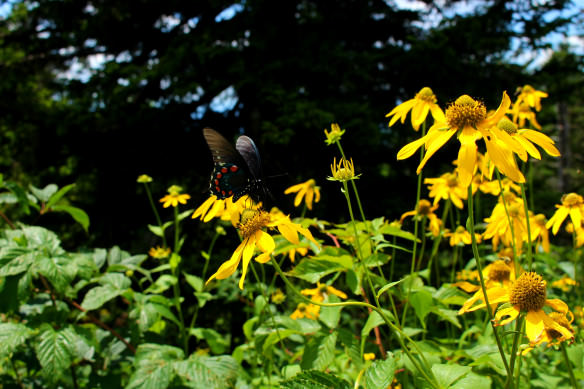 Blue Ridge Butterfly, Blue Ridge Parkway