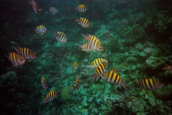 snorkeling with fish - Roatan