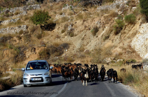 a traffic jam of goats on a winding two lane road in the mountains in Naxos