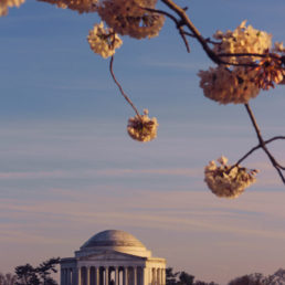 Jefferson Memorial during Cherry Blossoms in Washington DC