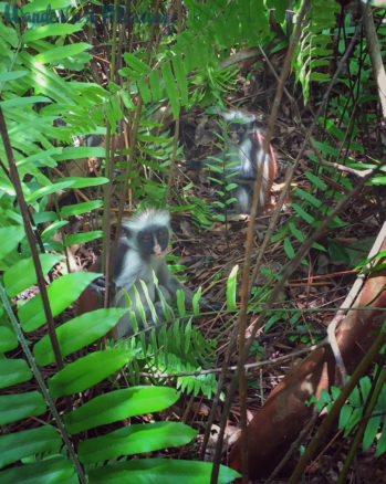 Red colobus monkeys in the forrest