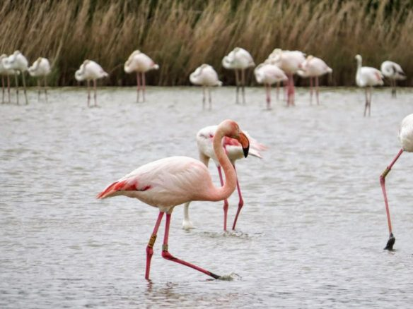 Flamingoes in Camargue