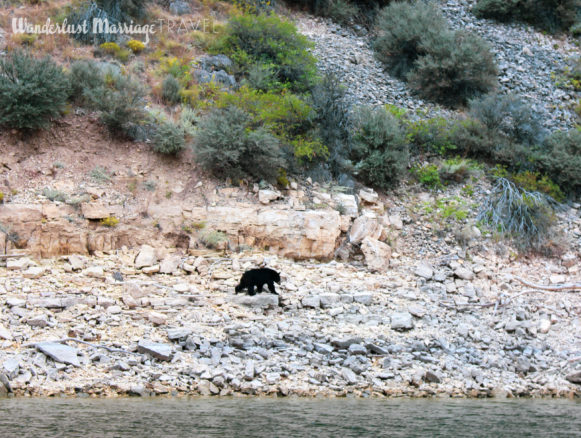 Black bear walking along the shore