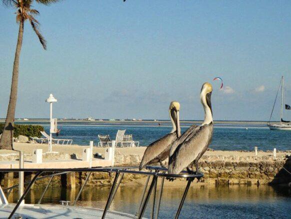 pelicans in Islamorada, Florida