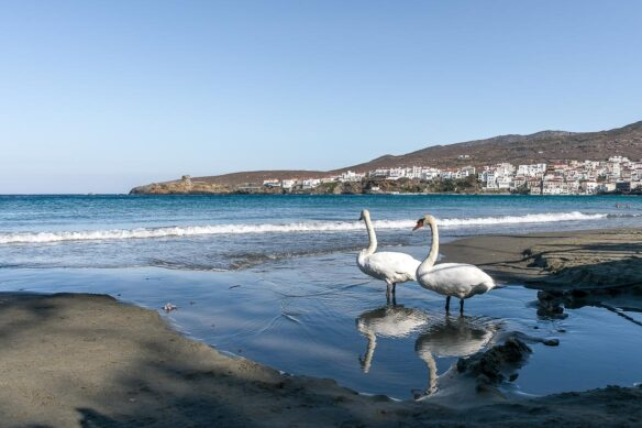 Seagulls in the water of the Aegean Sea in Andros, Greece in the Cyclades chain of the Greek islands