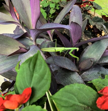 A bright green praying mantis in a flower garden