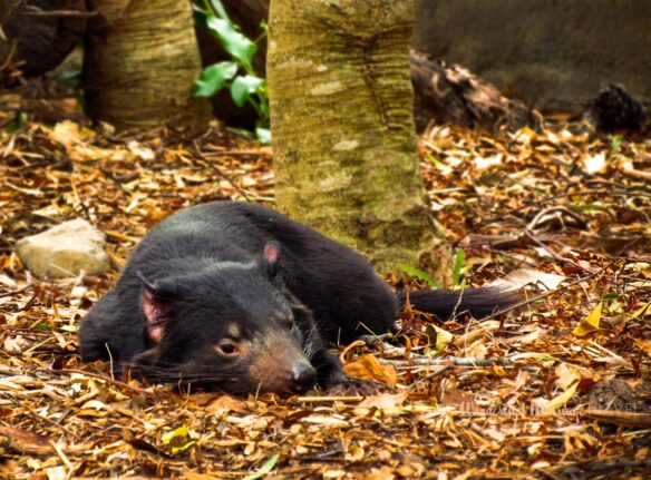 little black Tasmanian devil rest in the autumn leafs